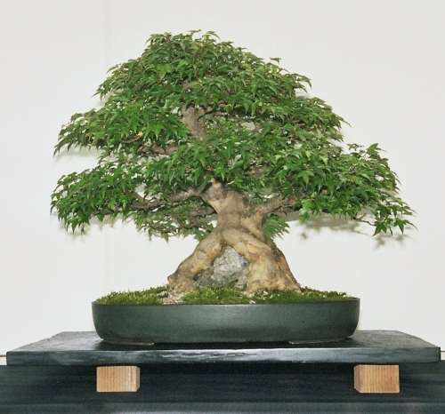 acer buergerianum dreispitz ahorn hinweise zur bonsai. Black Bedroom Furniture Sets. Home Design Ideas