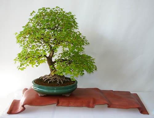 acer monspessulanum felsen ahorn oder burgen ahorn als bonsai gestalten und pflegen. Black Bedroom Furniture Sets. Home Design Ideas