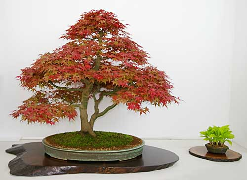 acer palmatum japanischer f cher ahorn als bonsai. Black Bedroom Furniture Sets. Home Design Ideas