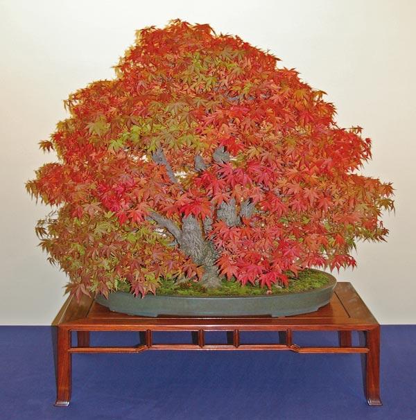 beeindruckende bonsai aus rotlaubigen acer palmatum sorten. Black Bedroom Furniture Sets. Home Design Ideas