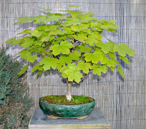 acer platanoides spitzahorn tipps zur gestaltung und pflege als bonsai. Black Bedroom Furniture Sets. Home Design Ideas
