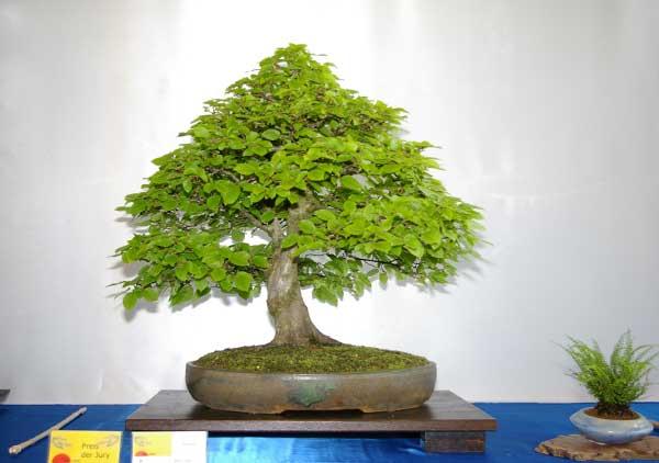 carpinus betulus hainbuche oder wei buche tipps zur gestaltung und pflege als bonsai. Black Bedroom Furniture Sets. Home Design Ideas