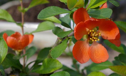 chaenomeles japonica scheinquitte oder zierquitte tipps zur gestaltung und pflege als bonsai. Black Bedroom Furniture Sets. Home Design Ideas