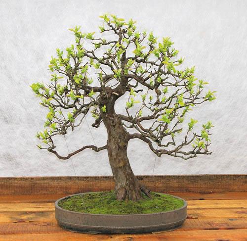 chaenomeles japonica scheinquitte oder zierquitte tipps. Black Bedroom Furniture Sets. Home Design Ideas