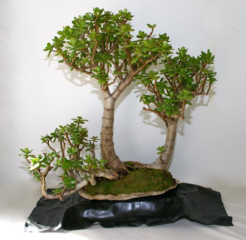 crassula ovata der geldbaum als zimmer bonsai. Black Bedroom Furniture Sets. Home Design Ideas
