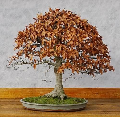 fagus sylvatica rotbuche zum bonsai gestalten und pflegen. Black Bedroom Furniture Sets. Home Design Ideas