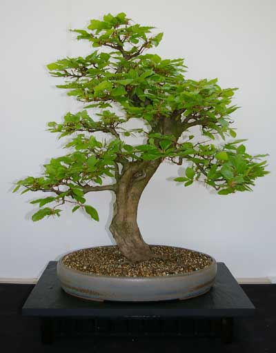 fagus sylvatica rotbuche zum bonsai gestalten und pflegen. Black Bedroom Furniture Sets. Home Design Ideas