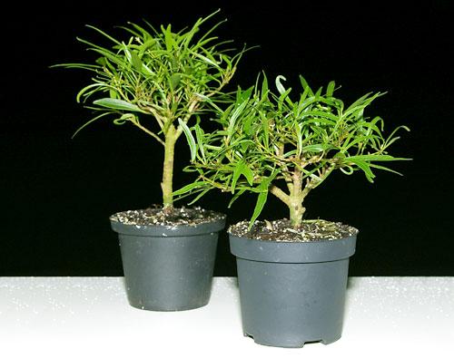 ficus neriifolia oleanderbl ttriger feigenbaum als. Black Bedroom Furniture Sets. Home Design Ideas