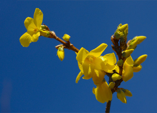forsythia europaea forsythie tipps zur gestaltung und pflege als bonsai. Black Bedroom Furniture Sets. Home Design Ideas