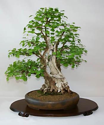 ginkgo biloba als bonsai gestalten und pflegen. Black Bedroom Furniture Sets. Home Design Ideas