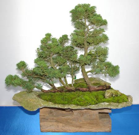 juniperus wacholder tipps zur gestaltung und pflege als. Black Bedroom Furniture Sets. Home Design Ideas