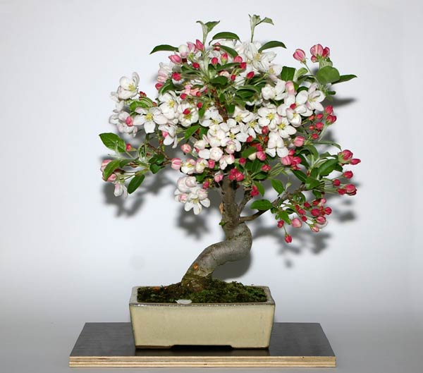 Bonsai apfel