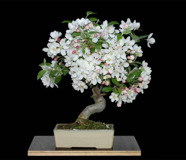 malus 39 evereste 39 beliebter zier apfel zum bonsai erzogen. Black Bedroom Furniture Sets. Home Design Ideas