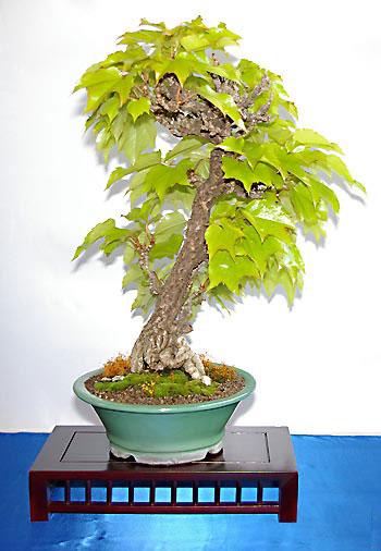 parthenocissus tricuspidata jungfernrebe tipps zur gestaltung und pflege als bonsai. Black Bedroom Furniture Sets. Home Design Ideas