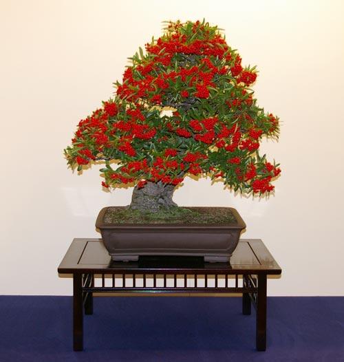 Pyracantha, Feuerdorn, Tipps zur Gestaltung und Pflege als Bonsai
