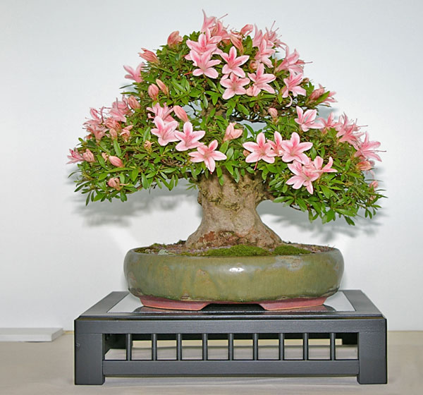 rhododendron simsii azalee als bonsai gestalten und pflegen. Black Bedroom Furniture Sets. Home Design Ideas