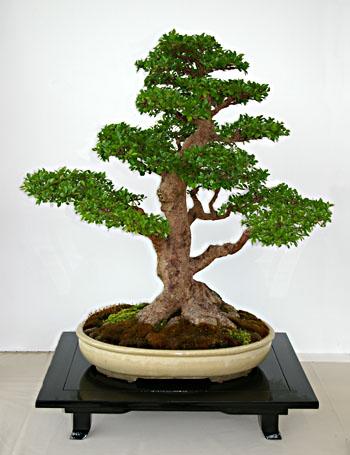 Chinesische ulme bonsai