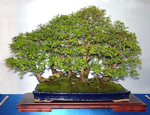 ulmus parvifolia chinesische ulme als bonsai gestalten. Black Bedroom Furniture Sets. Home Design Ideas