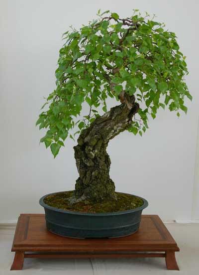 Bonsai Gestalten betula pendula, sand-birke, tipps zur gestaltung und pflege als bonsai