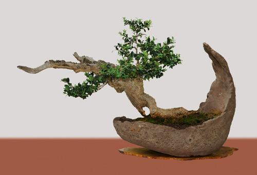 Bonsai Gestalten buxus sempervirens, buchsbaum, als bonsai gestalten und pflegen