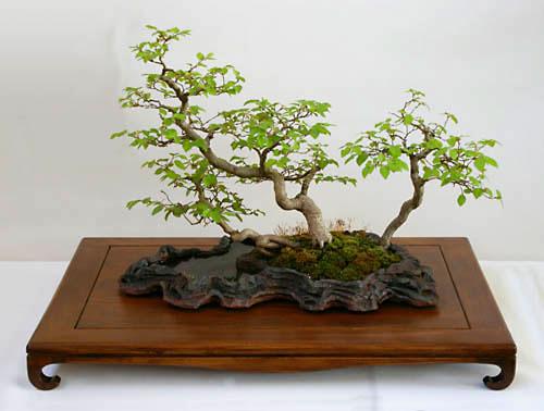 Bonsai Gestalten carpinus turczaninowii, koreanische hainbuche, tipps zur gestaltung