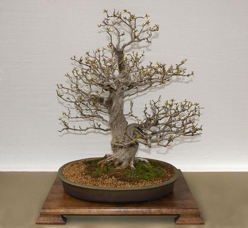 Bonsai Gestalten punica granatum, granatapfel, als bonsai gestalten und pflegen