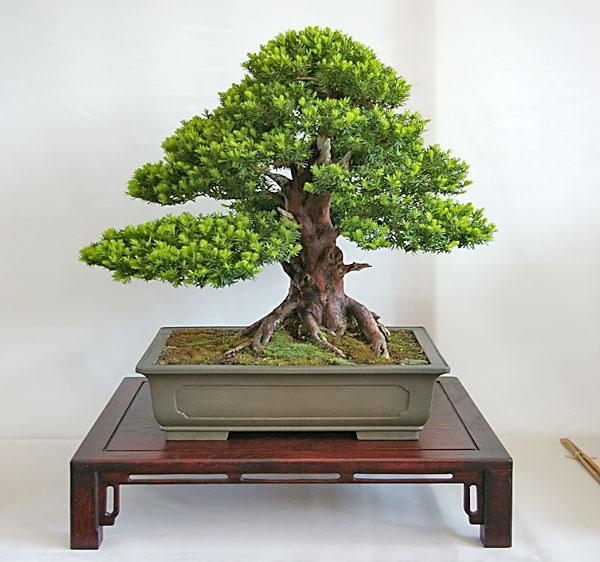 Außergewöhnlich Taxus baccata, gemeine Eibe, als Bonsai gestalten und pflegen @HA_37