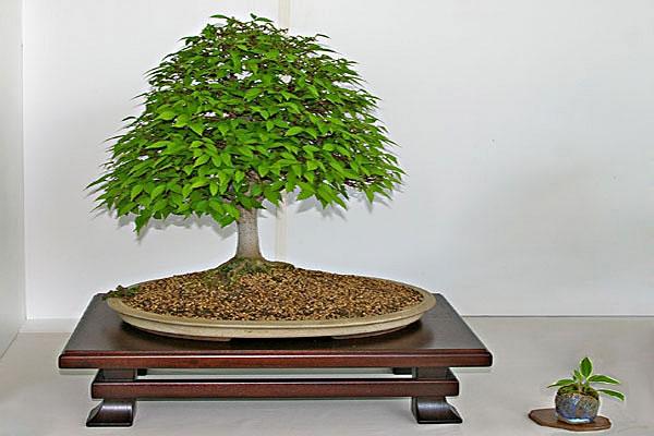 Bonsai Gestalten zelkova serrata, japanische zelkove, tipps zur gestaltung und pflege