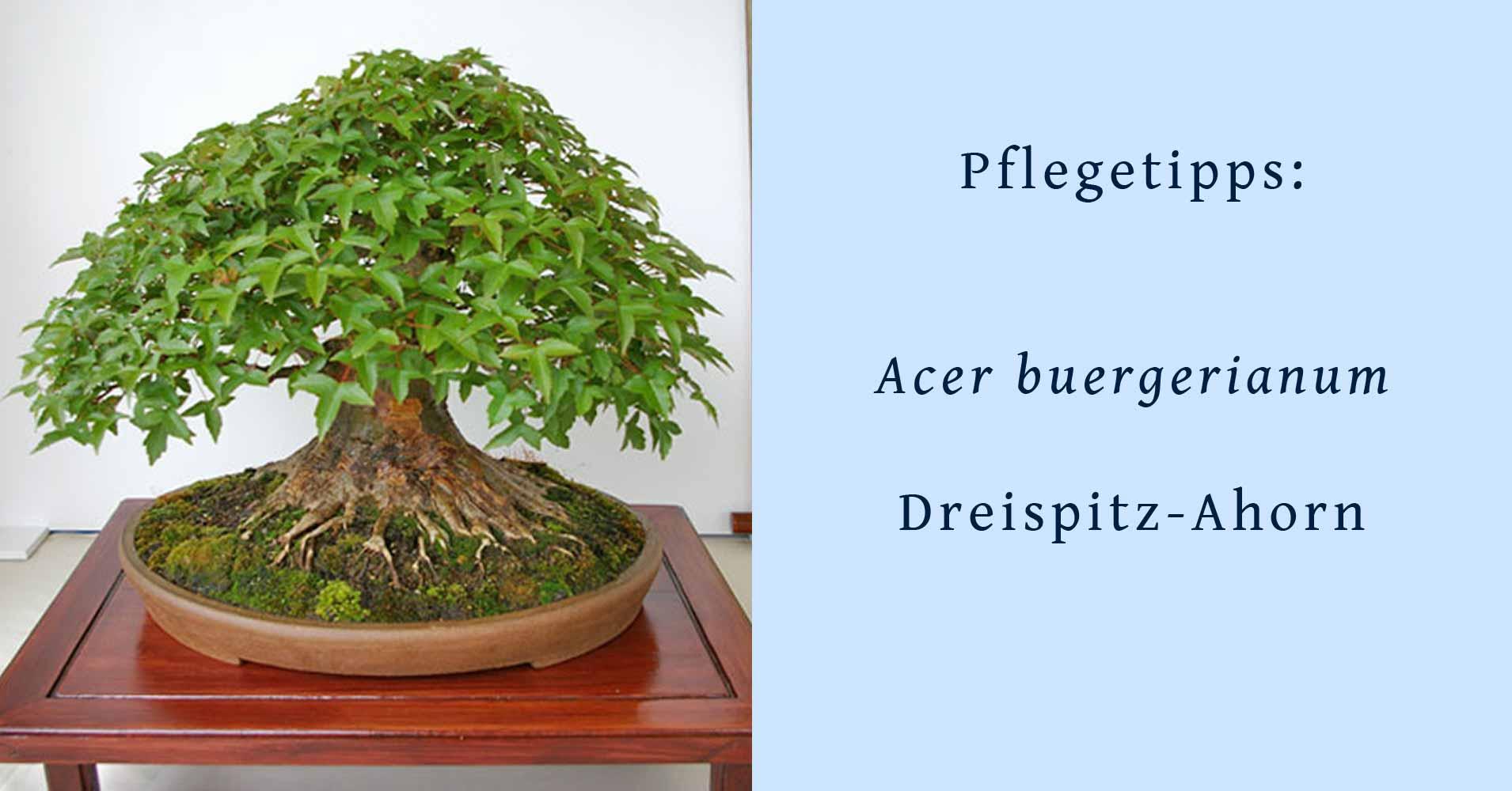 acer buergerianum dreispitz ahorn hinweise zur bonsai. Black Bedroom Furniture Sets. Home Design Ideas