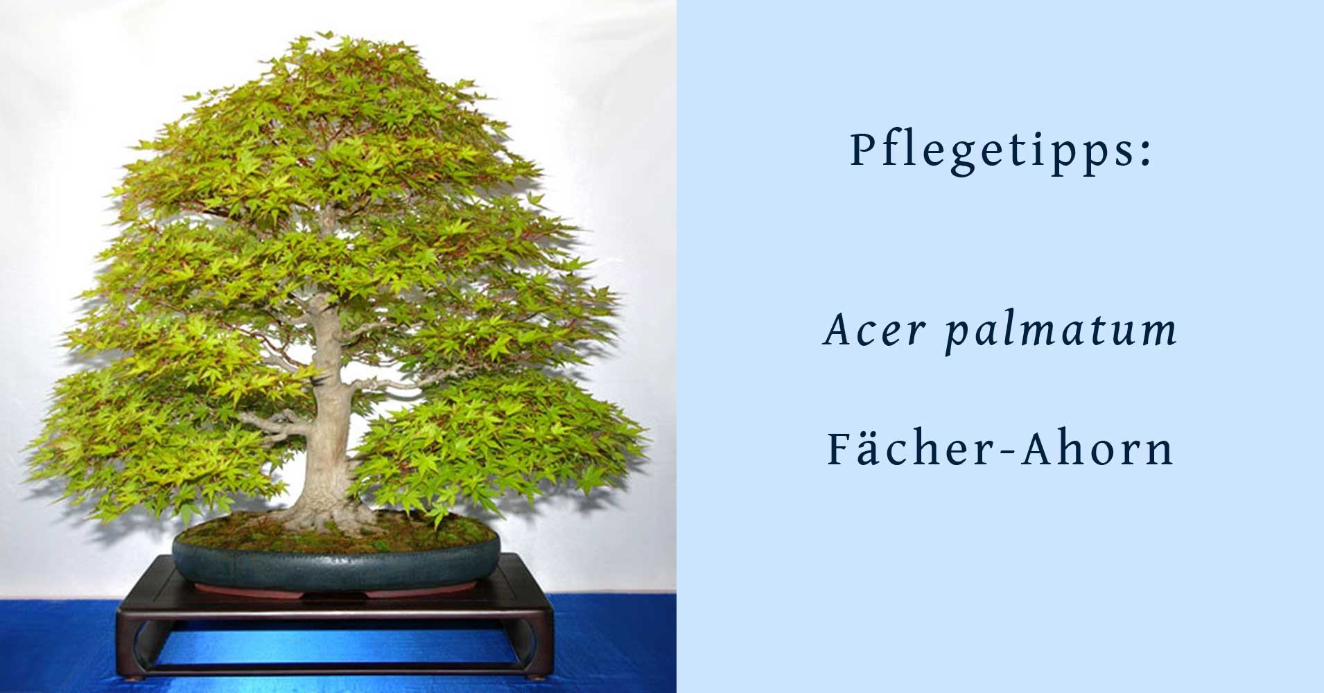 acer palmatum japanischer f cher ahorn als bonsai gestalten und pflegen. Black Bedroom Furniture Sets. Home Design Ideas