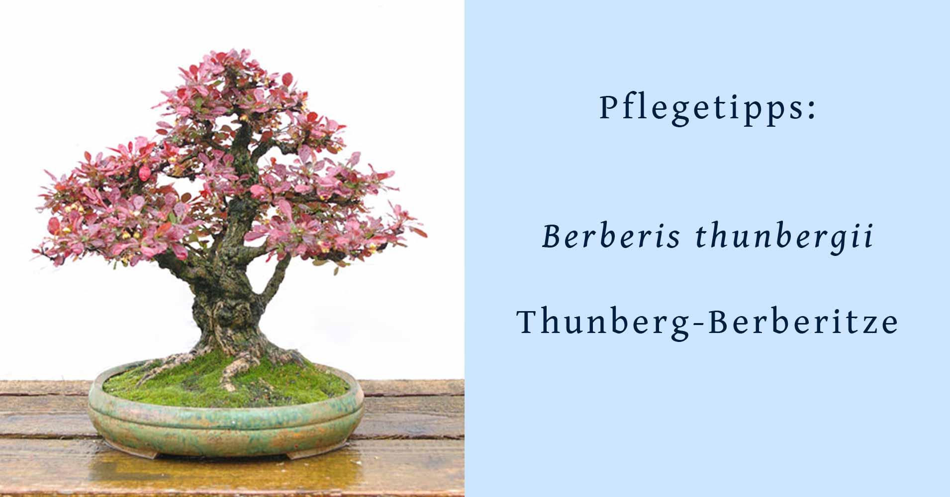 Ganz und zu Extrem Berberis thunbergii, Thunberg-Berberitze, Tipps zur Gestaltung und &XW_39