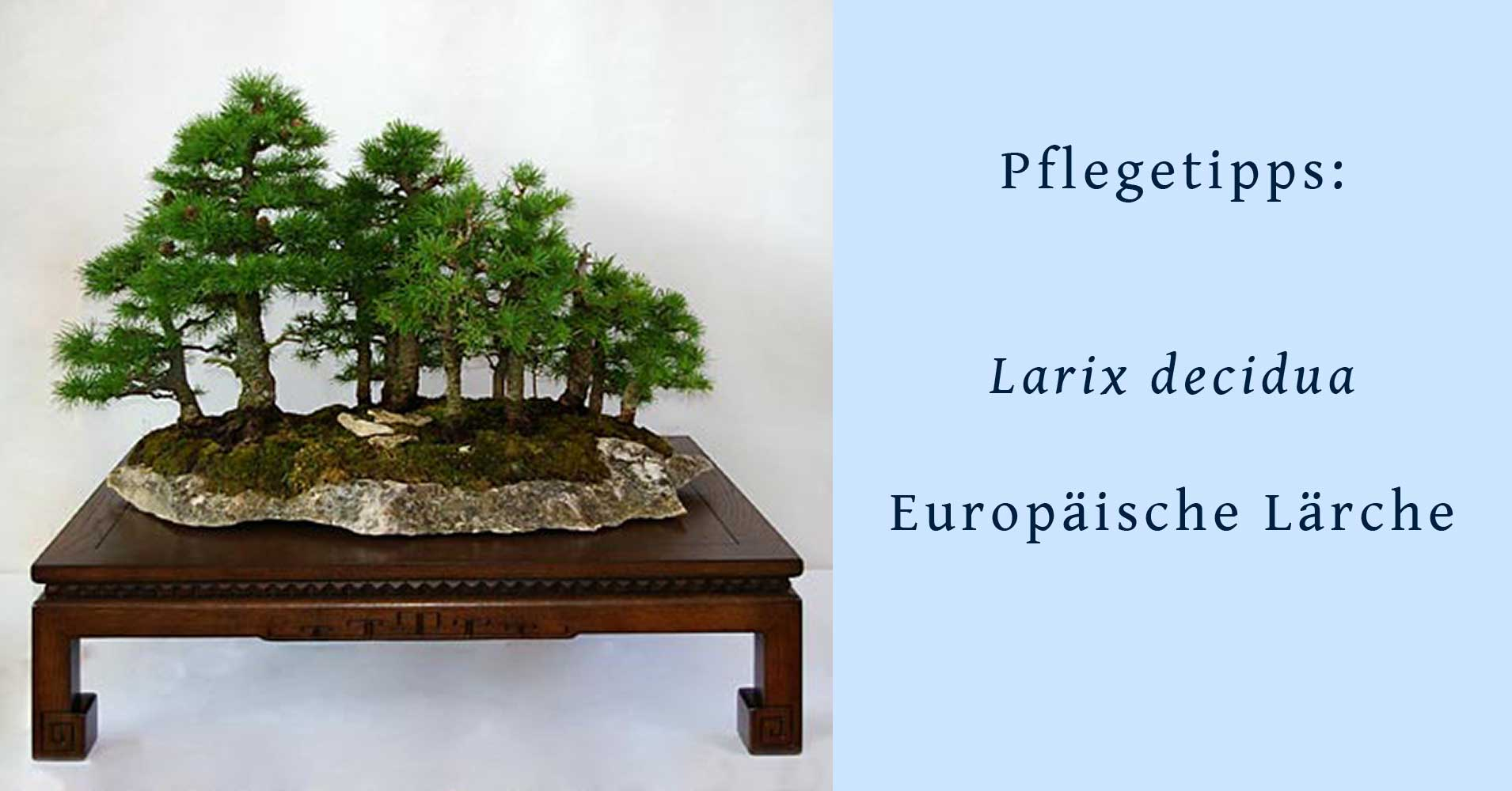 bonsai aus larix decidua europ ische l rche. Black Bedroom Furniture Sets. Home Design Ideas