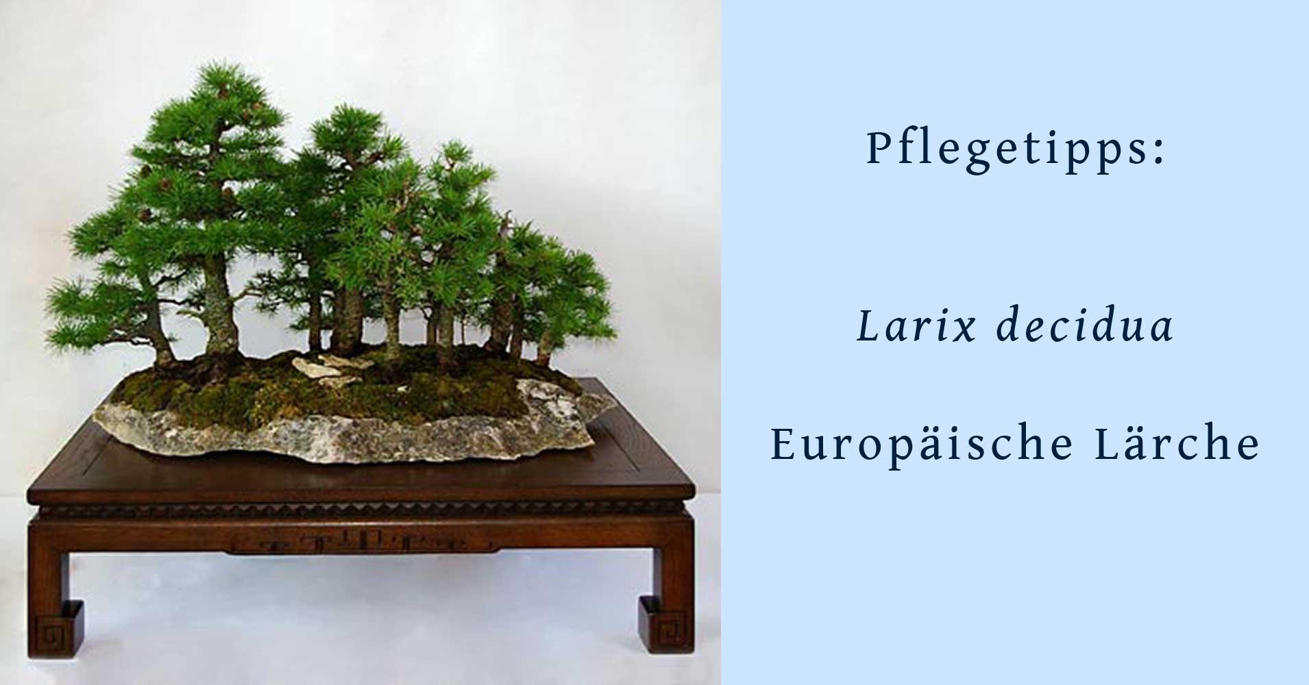 bonsai aus larix decidua europ ische l rche. Black Bedroom Furniture Sets. Home Design Ideas