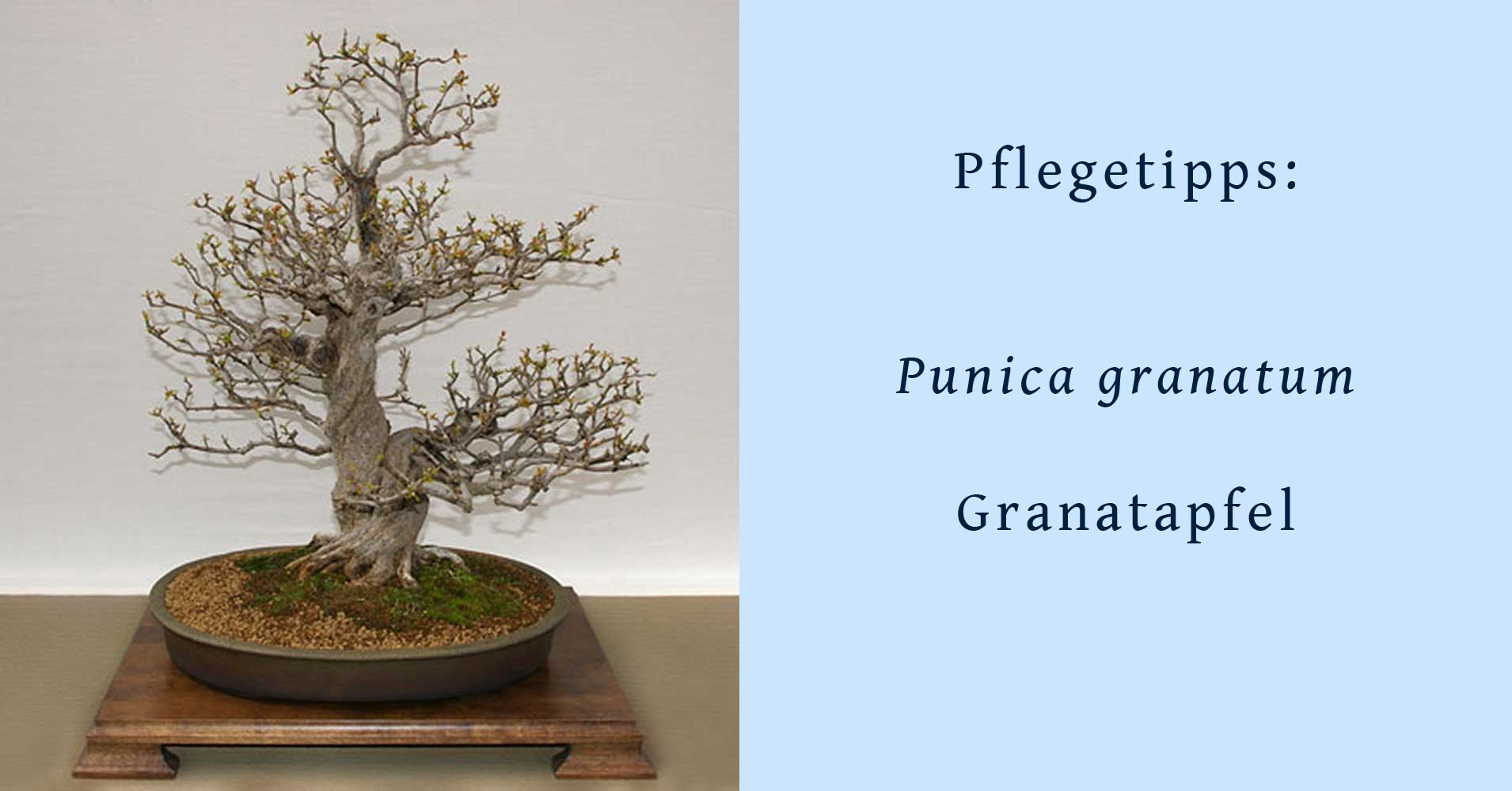 punica granatum granatapfel als bonsai gestalten und pflegen. Black Bedroom Furniture Sets. Home Design Ideas