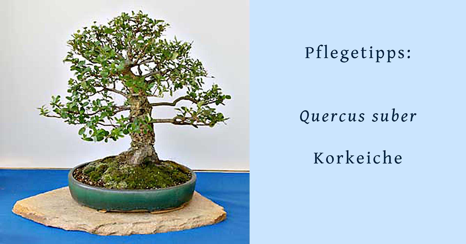 quercus suber kork eiche als bonsai gestalten und pflegen. Black Bedroom Furniture Sets. Home Design Ideas
