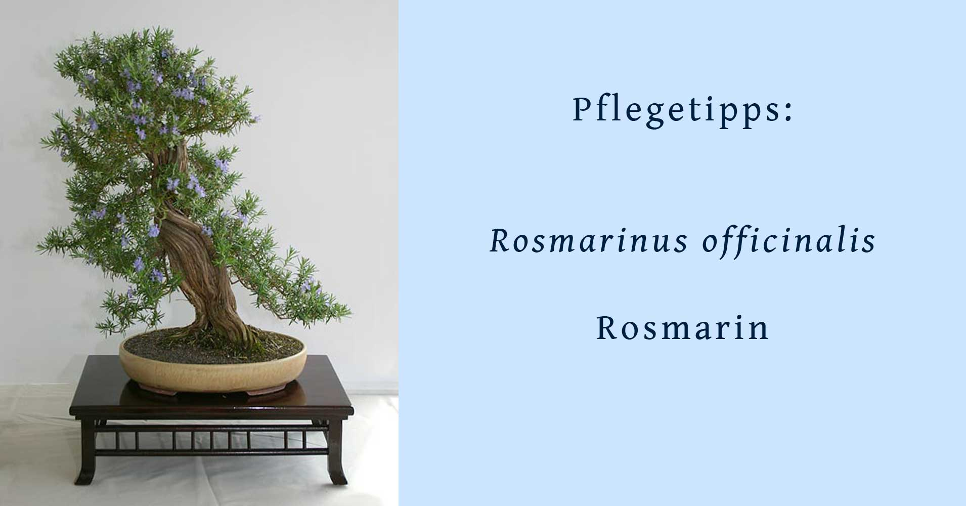 rosmarinus officinalis rosmarin tipps zur gestaltung und pflege als kalthaus bonsai. Black Bedroom Furniture Sets. Home Design Ideas
