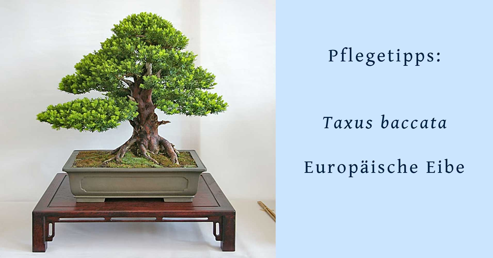 taxus baccata gemeine eibe als bonsai gestalten und pflegen. Black Bedroom Furniture Sets. Home Design Ideas