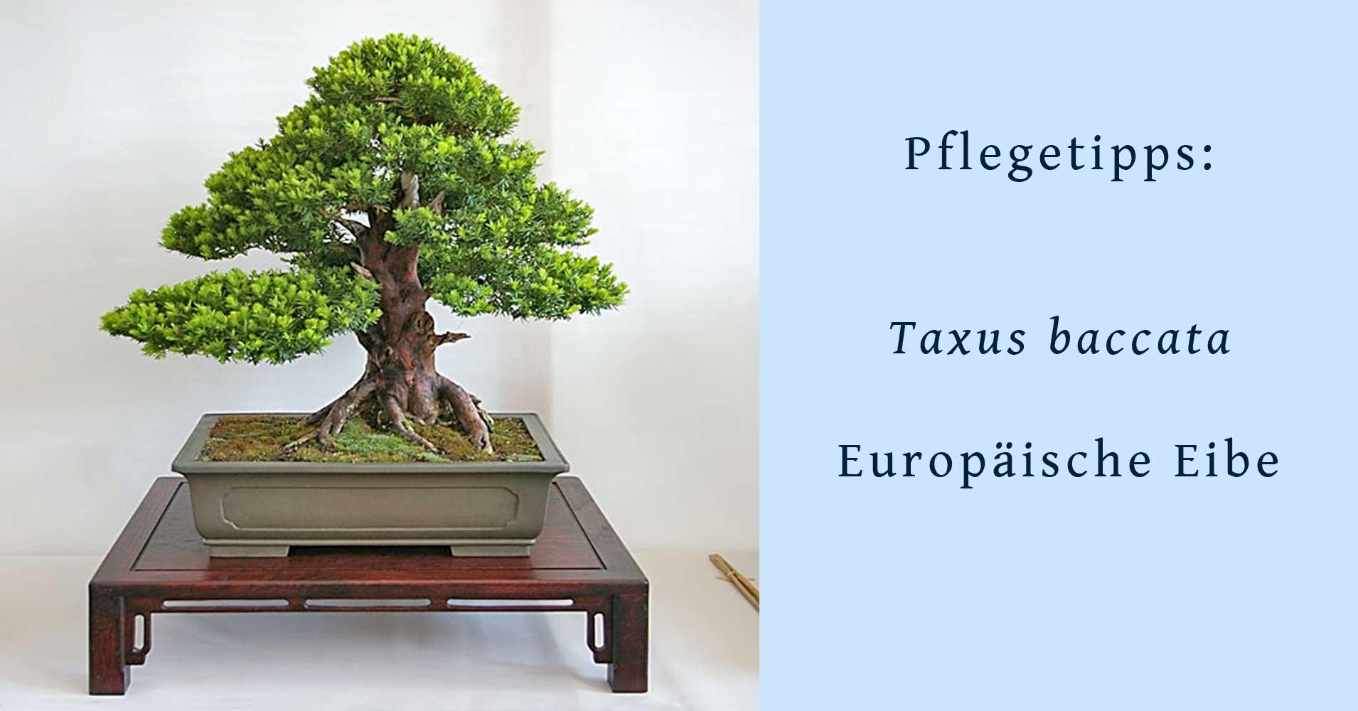 taxus baccata gemeine eibe als bonsai gestalten und pflegen. Black Bedroom Furniture Sets. Home Design Ideas