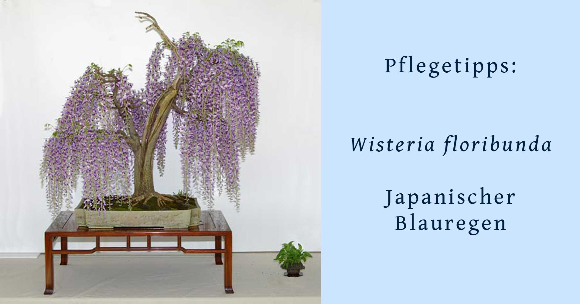 wisteria floribunda japanischer blauregen gestaltung und pflege als bonsai. Black Bedroom Furniture Sets. Home Design Ideas