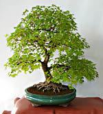 bonsai info net bonsai richtig pflegen und gestalten. Black Bedroom Furniture Sets. Home Design Ideas