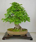 Winterlinde (Tilia cordata) als Bonsai gestaltet